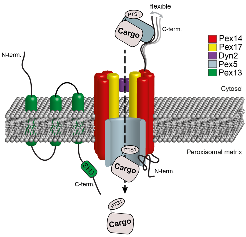Structural model of the peroxisomal docking complex